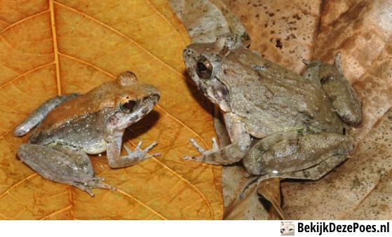 5. Lebendgebärender Frosch